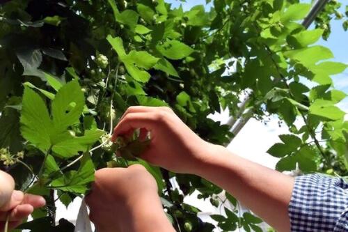 イベントレポート  リノベーションシェアハウスのシェア畑でホップ収穫祭!@世田谷区瀬田
